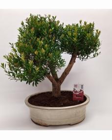 Bonsai Syzygium 'Yamadori' 50 cm