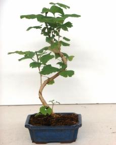Bonsai Ginkgo Biloba 35 cm