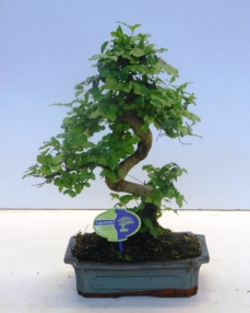 Bonsai Ligustrum Chinensis 40 cm