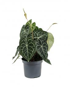 Anthurium Clarinervum