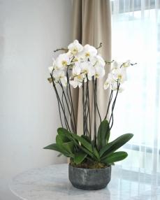 Arrangement with phalaenopsis plants