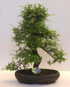 Bonsai Zelkova 70 cm