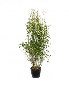 Bambus Fargesia 120 cm