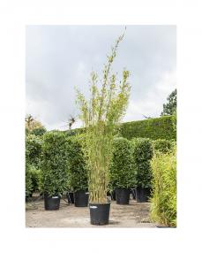 Bambus Fargesia 180 cm