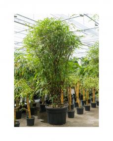 Bambus Ventricosa 300 cm