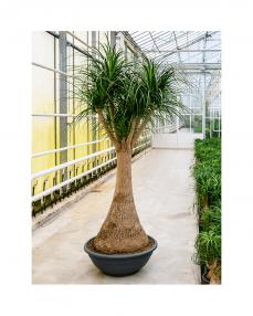 Beaucarnea Nolina 240 cm