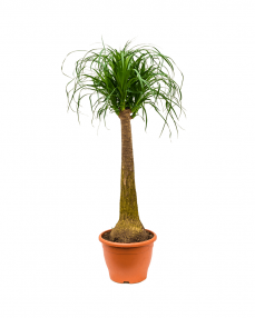 Beaucarnea Recurvata 100 cm