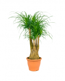 Beaucarnea Recurvata 110 cm