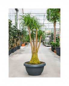 Beaucarnea Recurvata 150 cm