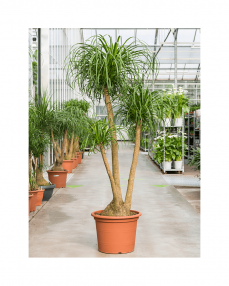 Beaucarnea Recurvata 200 cm