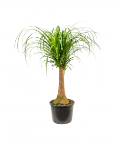 Beaucarnea Recurvata 90 cm
