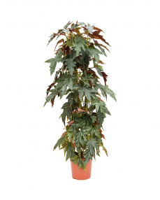 Begonia Maculata 160 cm