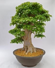 Bonsai Acer Buergerianum 'C1' 95 cm