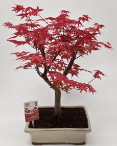 Bonsai Acer Deshojo