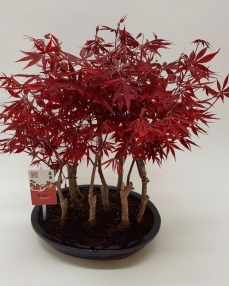 Bonsai Acer Forest