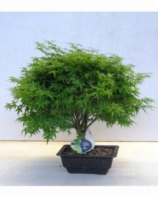 Bonsai Acer Palmatum Kiyohime 45 cm