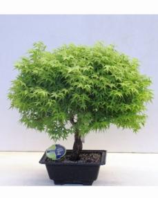 Bonsai Acer Palmatum Kiyohime 55 cm