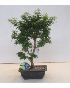 Bonsai Acer Palmatum Kotohime 50 cm