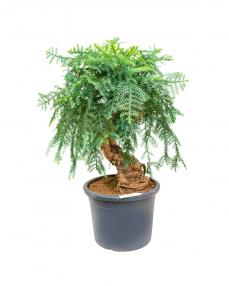 Bonsai Araucaria 120 cm
