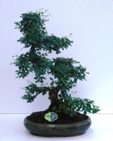 Bonsai Carmona 65 cm