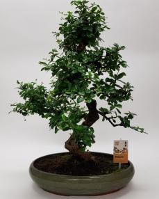 Bonsai Carmona 'Oval' 70 cm