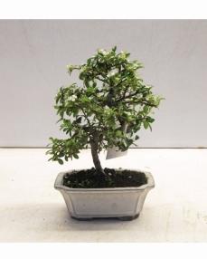 Bonsai Cotoneaster 25 cm