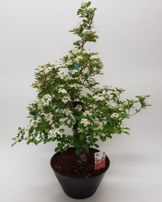 Bonsai Crataegus Cuneata 70 cm