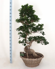 Bonsai Ficus Dragon Root 170 cm