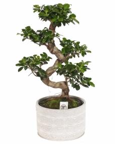 Bonsai Ficus ginseng 60 cm