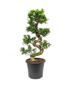 Bonsai Ficus Microcarpa 100 cm