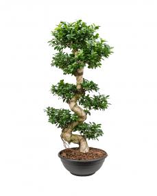 Bonsai Ficus Microcarpa 150 cm