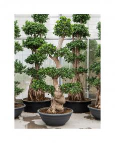 Bonsai Ficus Microcarpa 240 cm