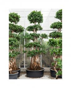 Bonsai Ficus Microcarpa 275 cm
