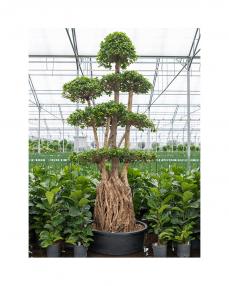 Bonsai Ficus Microcarpa 300 cm
