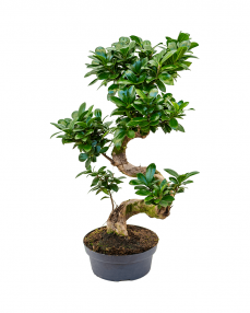 Bonsai Ficus Microcarpa 50 cm