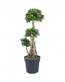 Bonsai Ficus Panda 110 cm