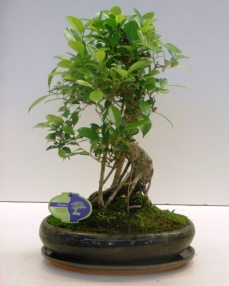 Bonsai Ficus Retusa 45 cm