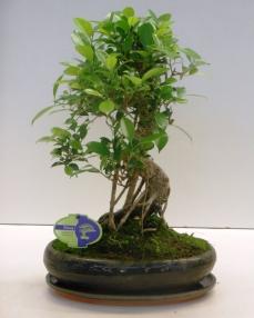 Bonsai Ficus Retusa 45 cm