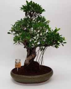 Bonsai Ficus Retusa 'Oval' 70 cm