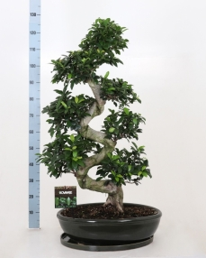 Bonsai Ficus S-type 130 cm