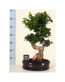 Bonsai Ficus S-type 70 cm