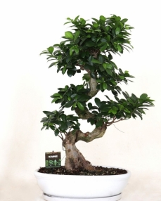 Bonsai Ficus S-type 85 cm
