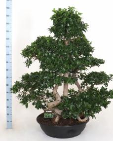Bonsai Ficus triple 160 cm