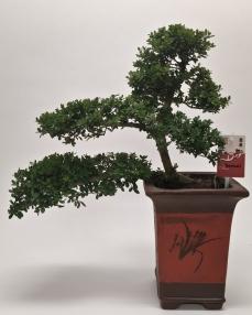 Bonsai Ilex 'Cascade' 45 cm