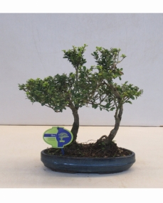 Bonsai Ilex creanta 2-stem 35 cm