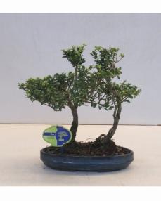 Bonsai Ilex crenata 2-stem 35 cm
