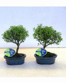 Bonsai Ilex Creanta 25 cm