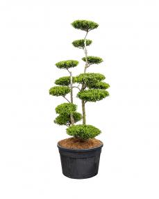 Bonsai Ilex Crenata  280 cm