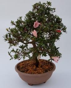 Bonsai Japanse Satsuki Azalea 'A3' 60 cm