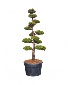 Bonsai Juniperus 280 cm